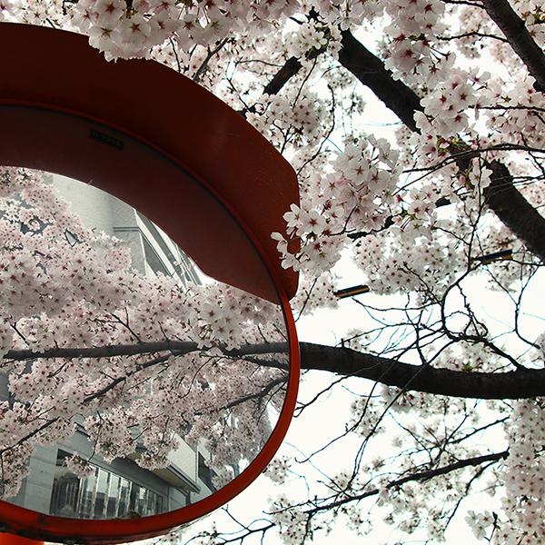 桜満開。今年も曇り。