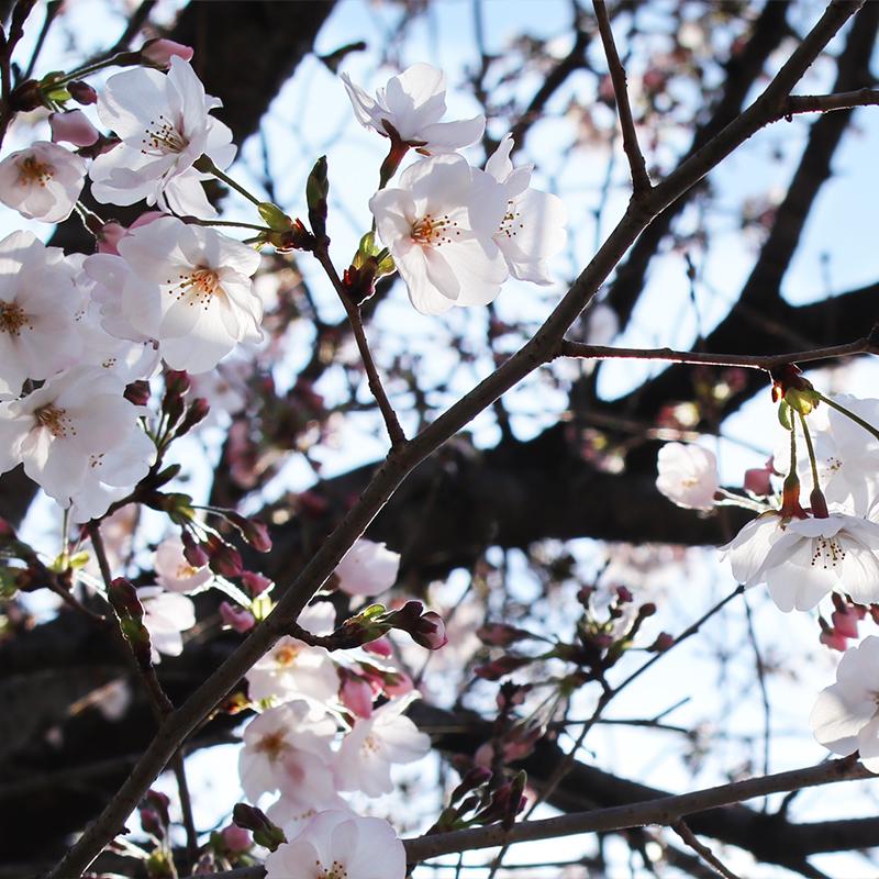 ダイヤルは回してなんぼ。これも男のメカ心。桜咲く。